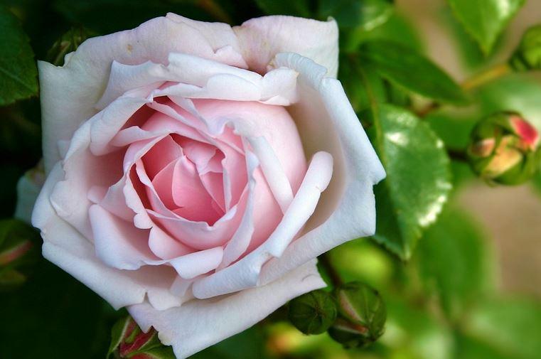50 Gambar Bunga Mawar Terlengkap 2017 Warna Putih Ungu Pink