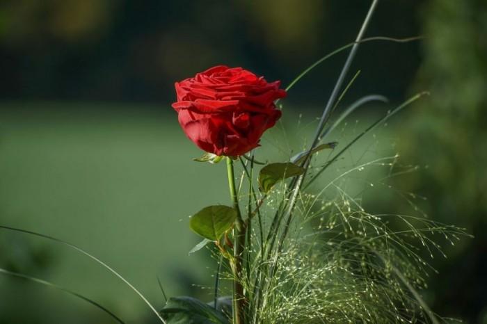 Gambar Bunga Mawar Merah Hitam Wallpaper