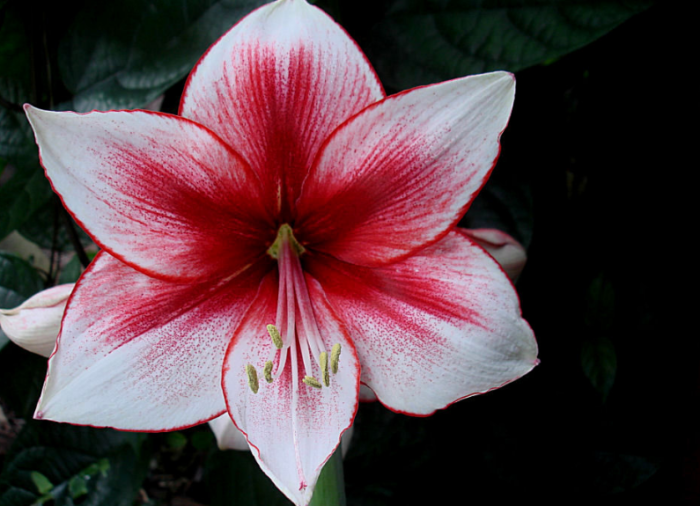 bunga-amarilis-arghya-gardens