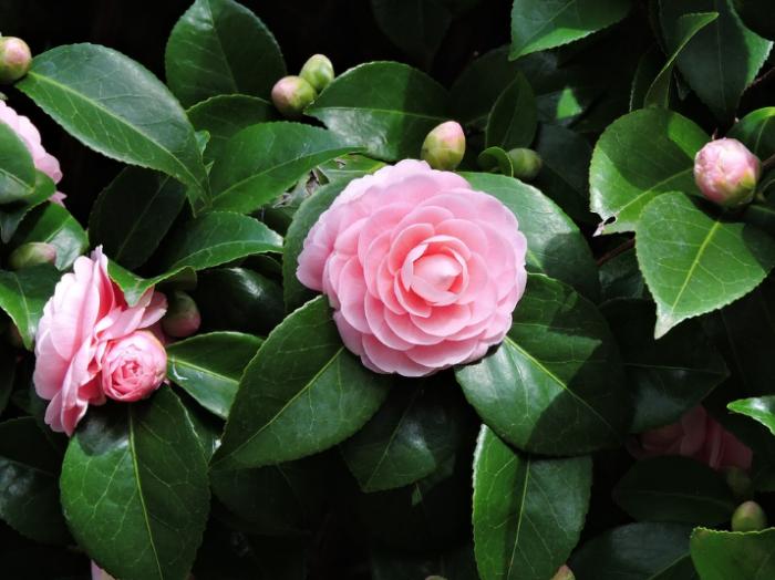 jenis-bunga-tercantik-di-dunia-camellia