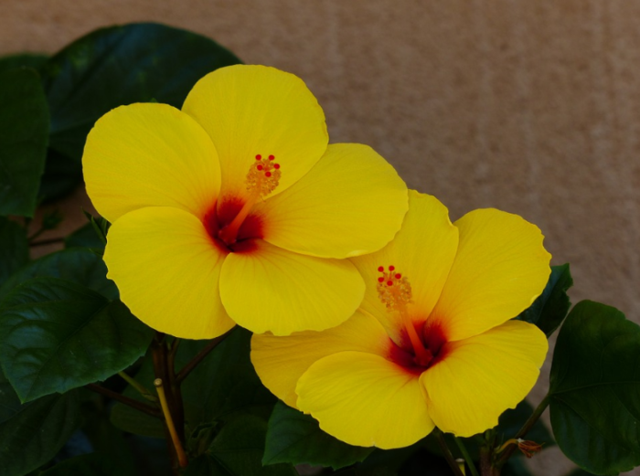 bunga-yellow-hibiscus