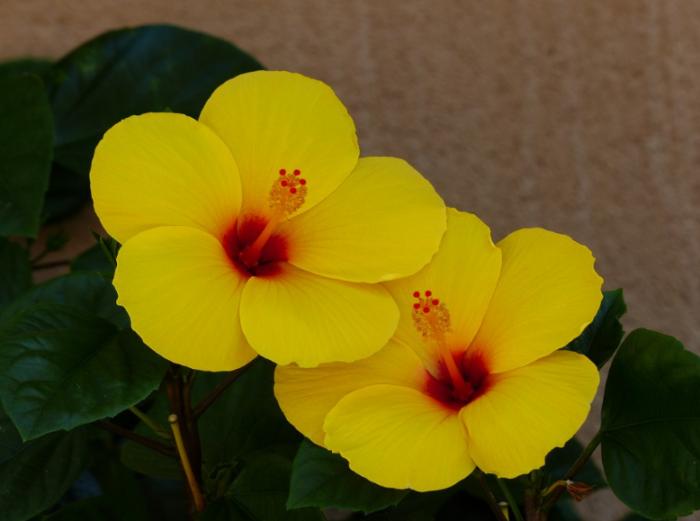 bunga-yellow-hibiscus