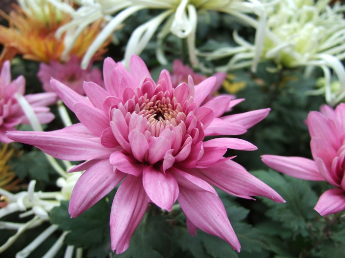 bunga-chrysanthemum