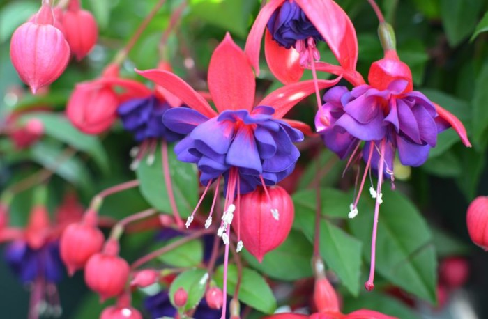 jenis bunga tercantik di dunia fuchia