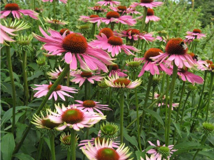 bunga-corneflowwer