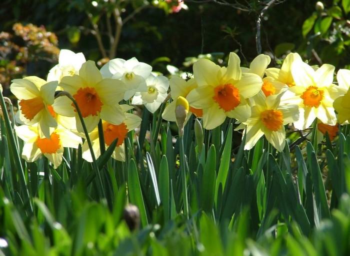 macam-macam-jenis-bunga-daffodils