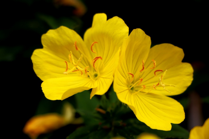 bunga-evening-primrose