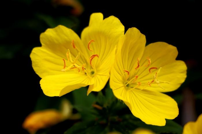 bunga-evening-primrose