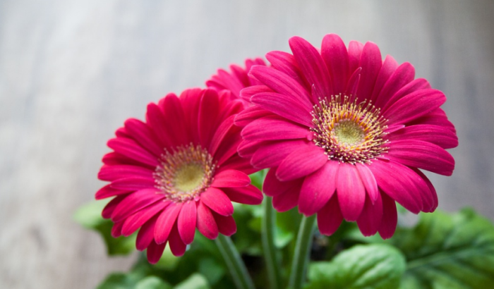jenis-bunga-tercantik-di-dunia-garbera