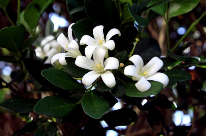 jenis-bunga-jasmine