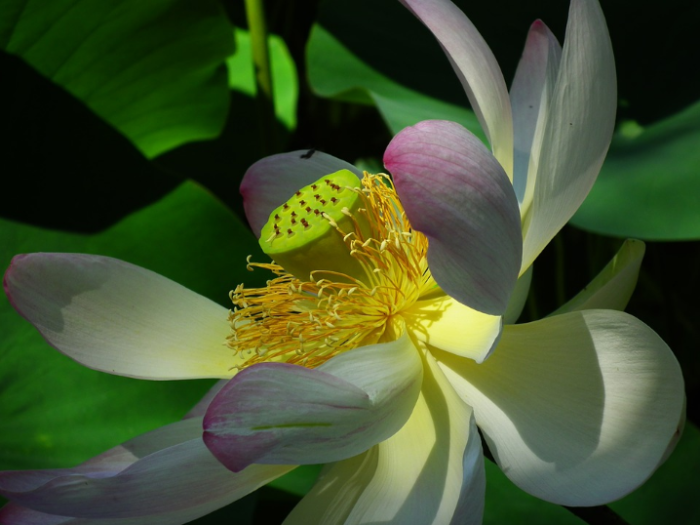 jenis bunga-lotus-2