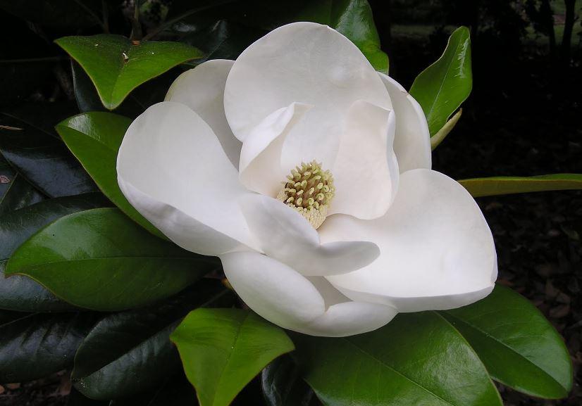 jenis-jenis bunga putih