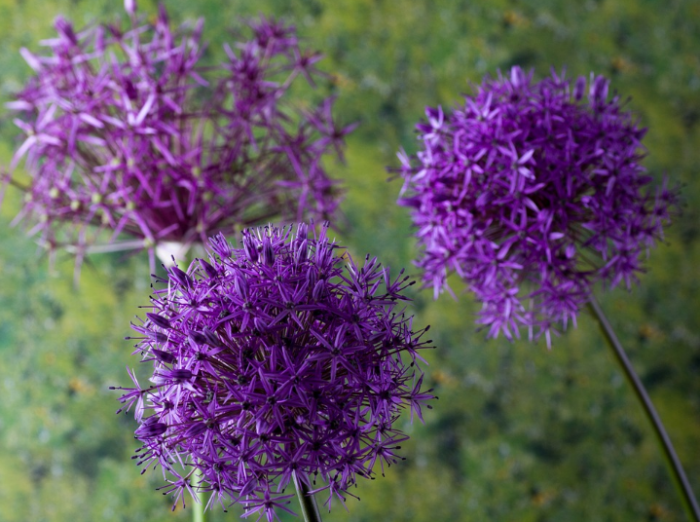 bunga-ornamental-onion
