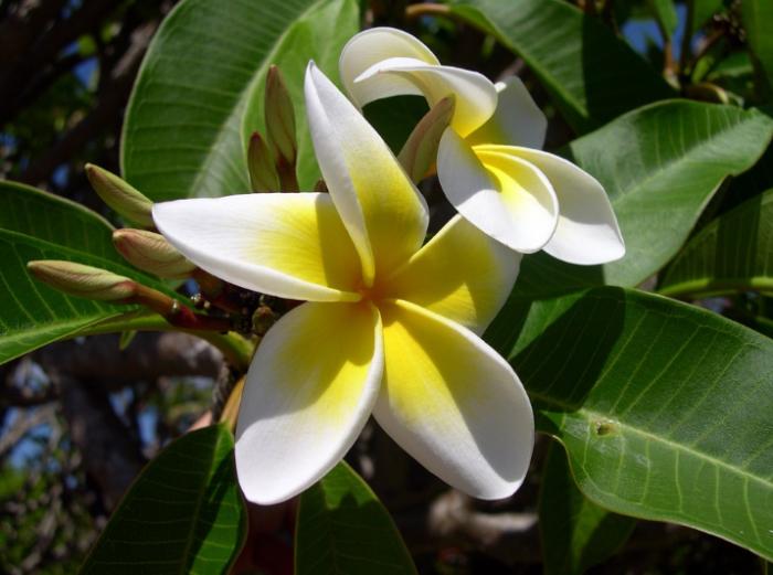 jenis bunga-plumeria