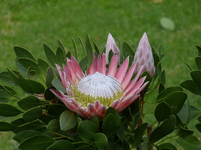 jenis-bunga-terindah-protea