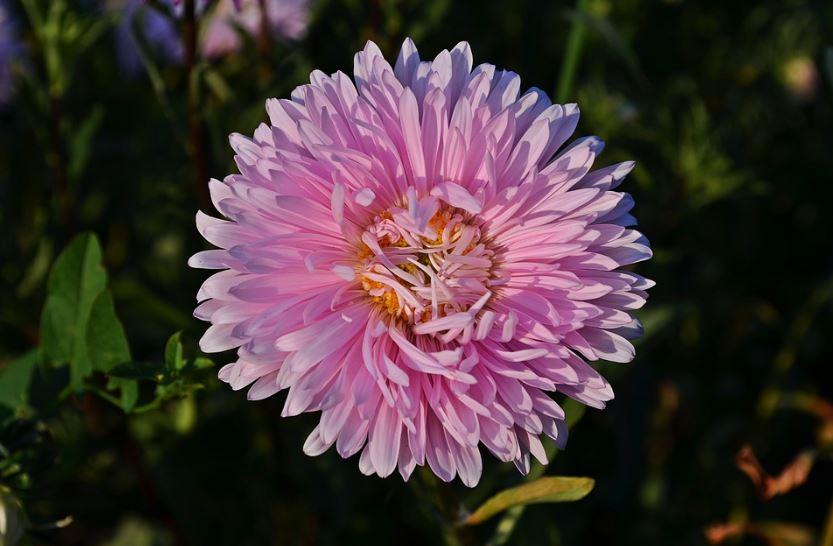 jenis bunga tercantik di dunia bunga aster