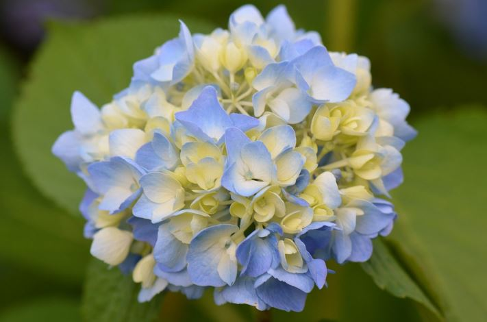 jenis bunga terindah di dunia bunga hydrangea
