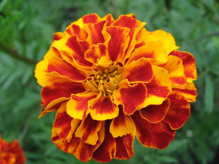 Bunga tercantik yang ada di dunia