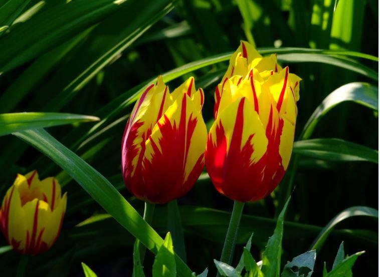 jenis bunga tercantik terindah cantik bunga tulip