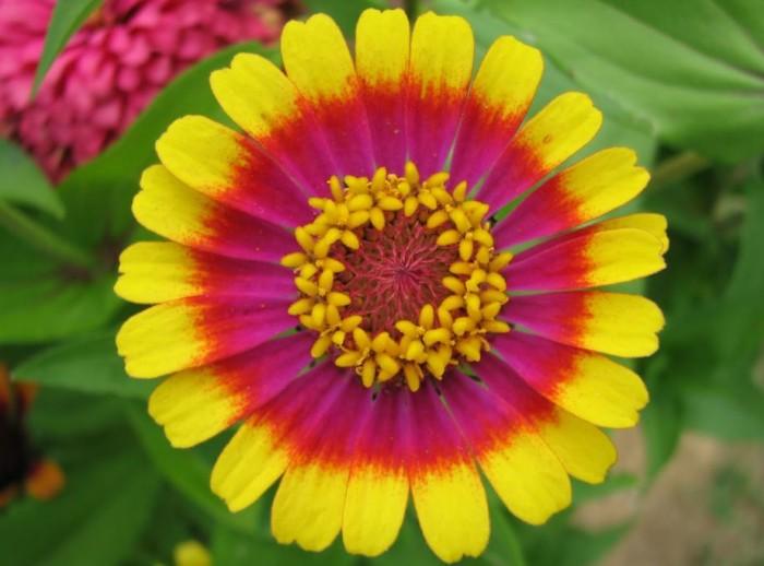 jenis bunga-terindah-zinnia-flowwer