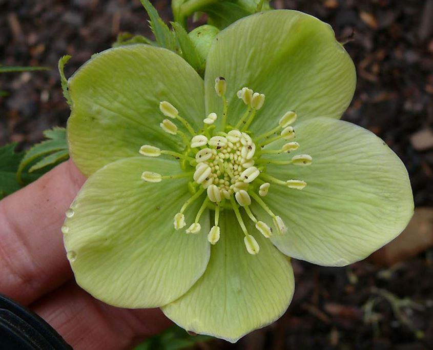 green-hellebore-deborahsilver-jenis-bunga